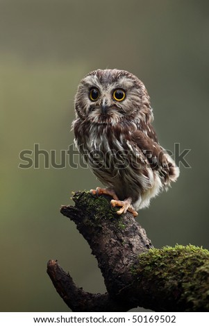 Closeup of a Saw-Whet Owl perching on a mossy log.