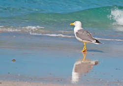 closeup of a seagull walking by the foreshore in Stintino