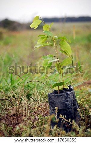 Closeup of a seedling of Jatoba, also known as Guapinol (Hymenaea courbaril), a palm tree, ready for planting. This tree is used to reforest deforested areas of the Amazon rainforest in Brazil.