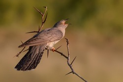 Closeup of A Shouting Bird Standing on Sharp Thorny Stem with Bokeh Background