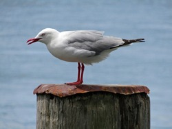 Closeup of a silver gull with its red beak open, standing on a wooden pole covered by a piece of rusty iron sheet, on blurred blue sea water background in summer in New Zealand