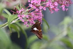 Closeup of a silver-spotted skipper butterfly on a butterfly bush