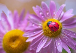 closeup of a small ladybug on a flower. red toy ladybug on chamomile flower. red ladybug in yellow chamomile heart. ladybug on camomile