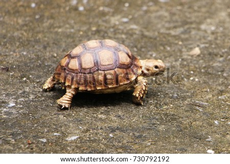 Closeup of a small newborn tortoise, Africa spurred tortoise sunbathe on ground with his protective shell, ,Geochelone sulcata ,focus selection #730792192