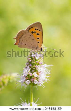 Closeup of a small or common Copper butterfly, lycaena phlaeas, feeding nectar of white flowers in a floral and vibrant meadow with bright sunlight. #1048168159