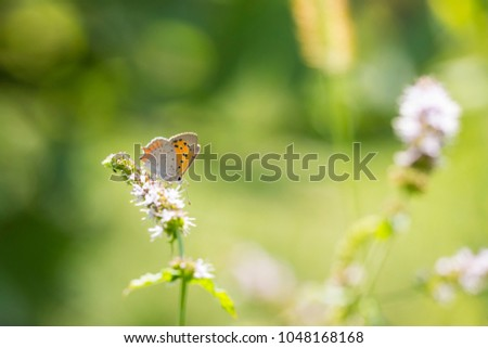 Closeup of a small or common Copper butterfly, lycaena phlaeas, feeding nectar of white flowers in a floral and vibrant meadow with bright sunlight. #1048168168