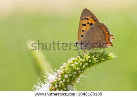 Closeup of a small or common Copper butterfly, lycaena phlaeas, feeding nectar of white flowers in a floral and vibrant meadow with bright sunlight. #1048168180
