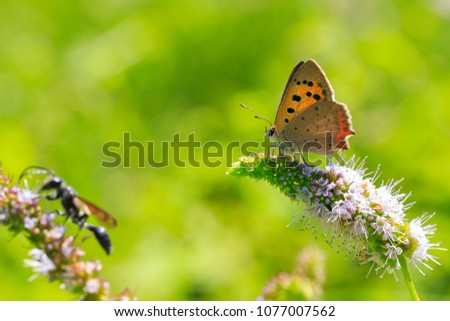 Closeup of a small or common Copper butterfly, lycaena phlaeas, feeding nectar of white flowers in a floral and vibrant meadow with bright sunlight. #1077007562