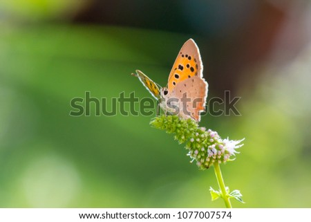 Closeup of a small or common Copper butterfly, lycaena phlaeas, feeding nectar of white flowers in a floral and vibrant meadow with bright sunlight. #1077007574