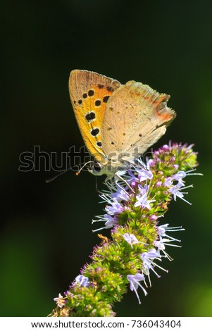 Closeup of a small or common Copper butterfly, lycaena phlaeas, feeding nectar of white flowers in a floral and vibrant meadow with bright sunlight. #736043404