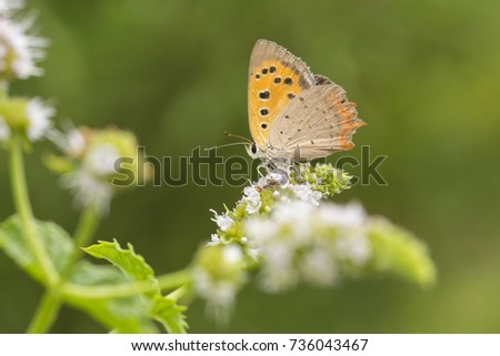 Closeup of a small or common Copper butterfly, lycaena phlaeas, feeding nectar of white flowers in a floral and vibrant meadow with bright sunlight. #736043467
