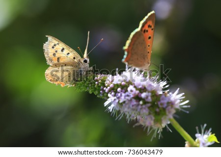 Closeup of a small or common Copper butterfly, lycaena phlaeas, feeding nectar of white flowers in a floral and vibrant meadow with bright sunlight. #736043479