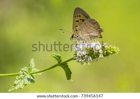 Closeup of a small or common Copper butterfly, lycaena phlaeas, feeding nectar of white flowers in a floral and vibrant meadow with bright sunlight. #739456147