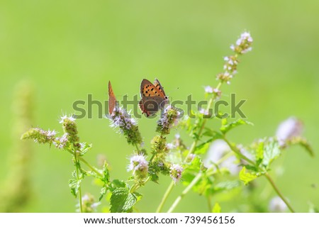 Closeup of a small or common Copper butterfly, lycaena phlaeas, feeding nectar of white flowers in a floral and vibrant meadow with bright sunlight. #739456156
