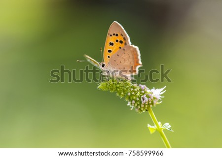 Closeup of a small or common Copper butterfly, lycaena phlaeas, feeding nectar of white flowers in a floral and vibrant meadow with bright sunlight. #758599966