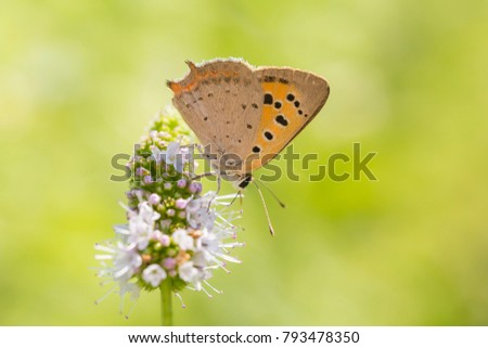 Closeup of a small or common Copper butterfly, lycaena phlaeas, feeding nectar of white flowers in a floral and vibrant meadow with bright sunlight. #793478350