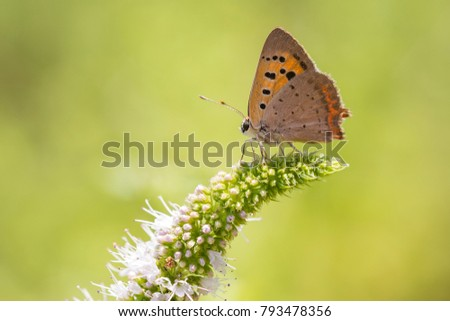 Closeup of a small or common Copper butterfly, lycaena phlaeas, feeding nectar of white flowers in a floral and vibrant meadow with bright sunlight. #793478356
