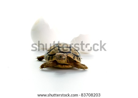 Closeup of a small steppe tortoise with shell eggs from which it hatched on a white background