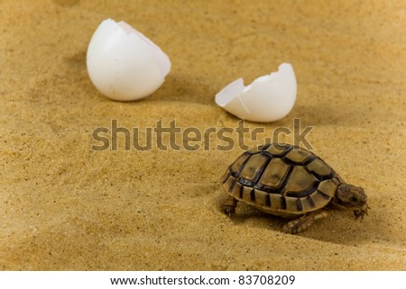 Closeup of a small steppe tortoise with shell eggs from which it hatched on the sand