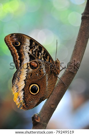 closeup of a snake-eye butterfly