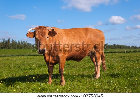 Closeup of a solid brown Dutch cow standing in a meadow in the Netherlands,