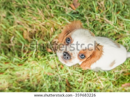 closeup of a spaniel puppy face