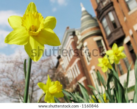 Closeup of a spring daffodil with urban apartment buildings blurred in the background.