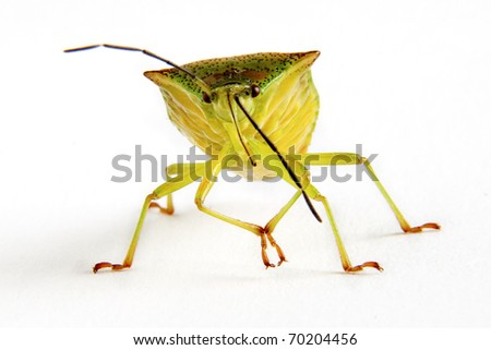 Closeup of a squash bug