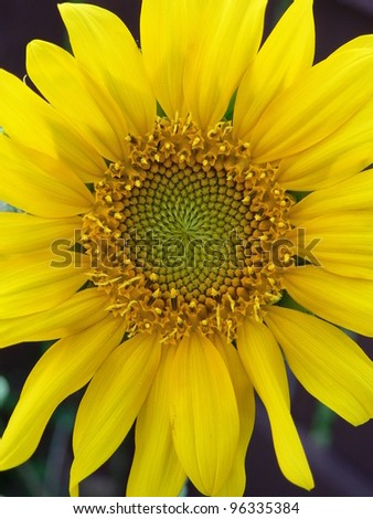 Closeup of a sunflower bloom.