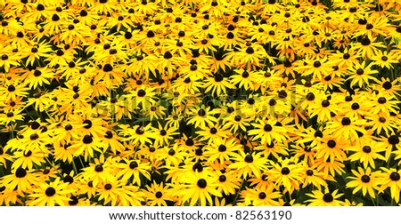 Closeup of a sunny field wih yellow flowering Black Eyed Susan plants