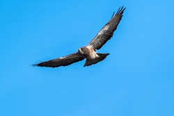 Closeup of a Swainson's Hawk approaching in flight against a blue sky background.