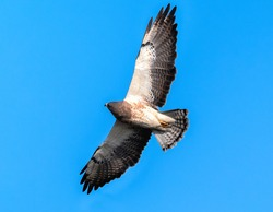 Closeup of a Swainson's Hawk (Light Morph) looking up at the sky with interest, possibly exhibiting a hunting technique where it snatches insects out of the air while in flight.
