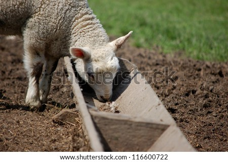 Closeup of a sweet lamb feeding at a trough