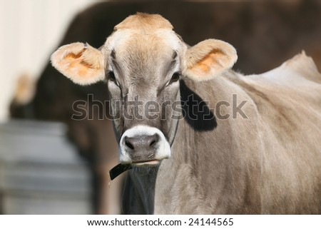 Closeup of a Swiss Dairy Cow