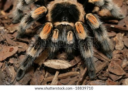 Closeup of a tarantula