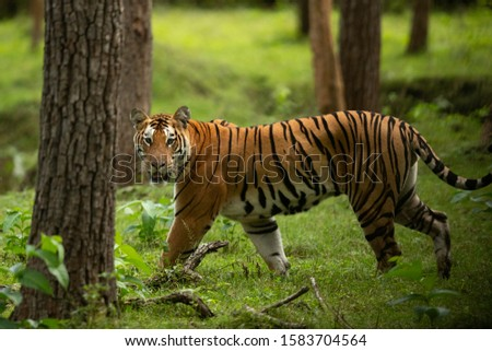 Closeup of a Tiger in lush green forest of Kabini Tiger Reserve, India Zdjęcia stock ©