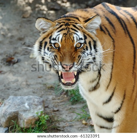 Closeup of a tiger's face with bare teeth