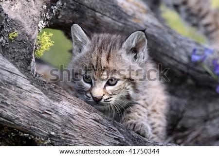 Canadian Lynx Kitten. tiny Canadian Lynx Kitten.