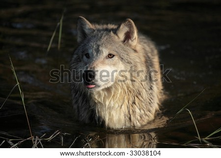 Closeup of a Tundra Wolf in a pond.
