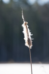 Closeup of a Typha (Latin: Typha latifolia). Dried overblown cattail in the  bright blue sky background. Single plant towering in Estonian winter landscape, frozen lake covered with snow and ice.