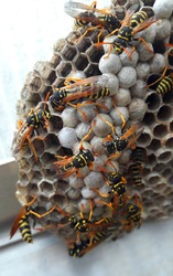 Closeup of a wasp's nest with many yellow and orange wasps