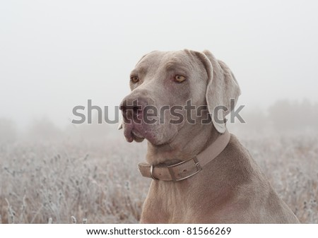 Closeup of a Weimaraner dog on a cold foggy winter morning