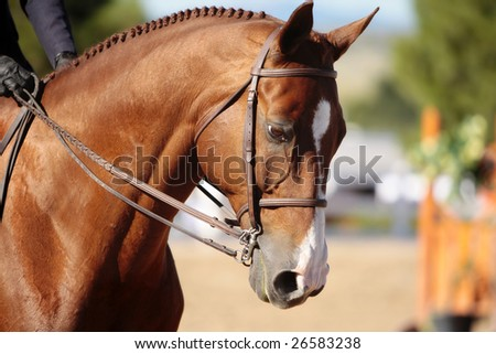 Closeup of a well-groomed horse's head in morning sunlight before the start of an early horse show (shallow focus point on side of neck and head).