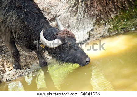 closeup of a wet black buffalo drinking water