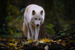 Closeup of a white arctic wolf in a forest