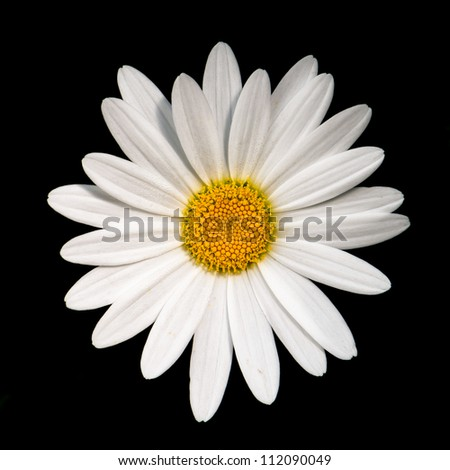 Closeup of a white daisy against black background
