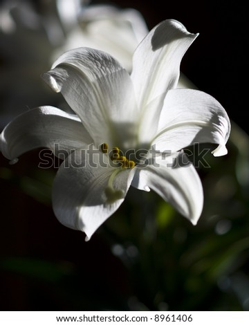 Closeup of a white Easter Lily backlit from a window, natural light.