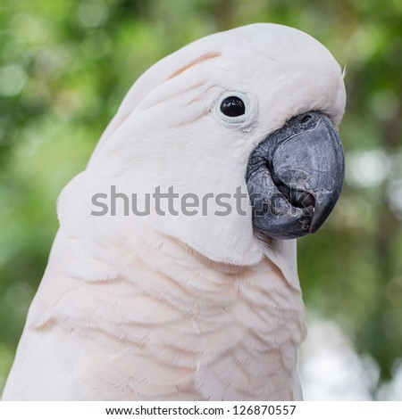Closeup of a white parrot against on green background