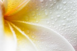 Closeup of a white, yellow and pink plumeria bloom with dew drops