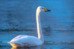 Closeup of a whooper swan, Cygnus cygnus, standing on ice. Rare visitor in the Netherlands.